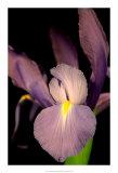 Sweet Iris II Giclee Print by Renee Stramel