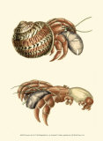 Hermit Crabs II Posters by Frederick P. Nodder