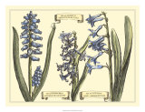 Hyacinth in Bloom Prints by Langlois 
