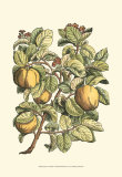 Quince Tree Branch Prints by Henri Du Monceau