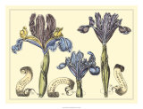 Iris in Bloom II Prints by Langlois 