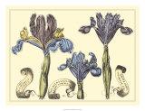 Iris in Bloom II Prints by  Langlois