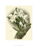 Dramatic Orchid I Premium Giclee Print by Chas Storer