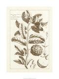 Sepia Exotics I Premium Giclee Print by Pierre-Joseph Buchoz