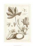 Sepia Exotics III Premium Giclee Print by Pierre-Joseph Buchoz