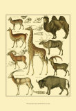Oken Giraffe and Camel Posters by Lorenz Oken