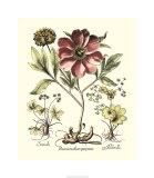 Framboise Floral I Premium Giclee Print by Besler Basilius