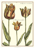Tulipa I Giclee Print by Crispijn de Passe
