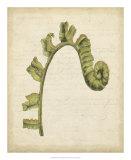 Fiddlehead Ferns III Giclee Print by Jennifer Goldberger