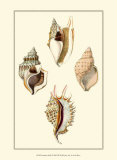 Strombus Shells Prints by Lovell Reeve