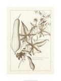 Sepia Exotics IV Premium Giclee Print by Pierre-Joseph Buchoz