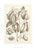 Sepia Exotics II Premium Giclee Print by Pierre-Joseph Buchoz
