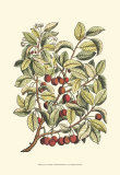 Cherry Tree Branch Print by Henri Du Monceau