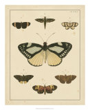 Heirloom Butterflies II Giclee Print by Pieter Cramer