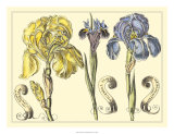 Iris in Bloom I Poster by  Langlois