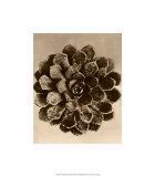 Sepia Botany Study II Giclee-tryk i høj kvalitet af Karl Blossfeldt
