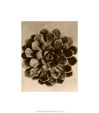 Sepia Botany Study II Giclee Print by Karl Blossfeldt