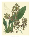 Antique Orchid Study III Prints by Syndenham Edwards