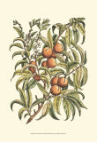 Peach Tree Branch Posters by Henri Du Monceau