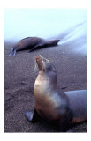Stretching Seal, Galapagos Giclee Print by Charles Glover