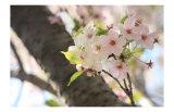 Japanese Cherry Blossom, Sakura I Posters by Ryuji Adachi