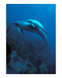 Mother and Baby Dolphins Posters by Charles Glover