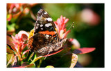 Red Admiral Prints by Antonia Illsley