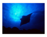 Sea Manta Burst Giclee Print by Charles Glover