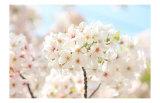 Japanese Cherry Blossom, Sakura II Giclee Print by Ryuji Adachi