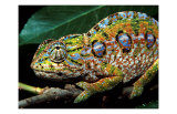 Chameleon, Madagascar Psters por Charles Glover