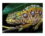 Chameleon, Madagascar Art by Charles Glover