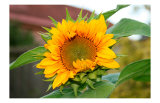 Sunflower Giclee Print by Antonia Illsley