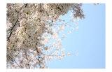 Japanese Cherry Blossom, Sakura III Poster by Ryuji Adachi