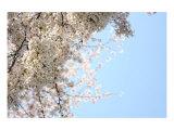 Japanese Cherry Blossom, Sakura III Giclee Print by Ryuji Adachi