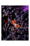 Clown Fish, Andaman Island Giclee Print by Charles Glover