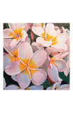 Frangipani Delight Posters by John Birch