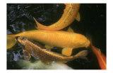 Golden Japanese Koi Fish Prints by Ryuji Adachi