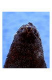Fur Seal, Antarctica Print by Charles Glover