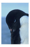 Blue-Eyed Adelie Penguin Giclee Print by Charles Glover