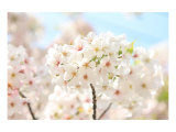 Japanese Cherry Blossom, Sakura II Prints by Ryuji Adachi
