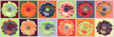 Gerbera Spectrum Posters