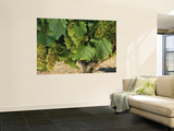 Chardonnay Grapes on the Vine, Napa California, USA Wall Mural