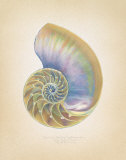 Nautilus Cross Section Prints by Richard Van Genderen
