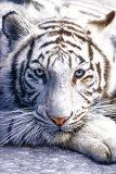Vit tiger Affischer