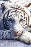 White Tiger Prints
