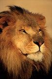 Lion Pósters