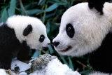 Pandas Fotografía