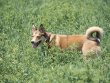 German Shepherd Dog Panting and Standing in Grassy Green Field Photographic Print