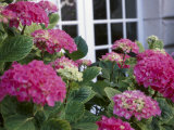 Delicate Pink Hydrangea Blossoms Near Cottage Window Photographic Print