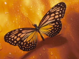 Close-Up of a Delicate Monarch Butterfly Resting on an Orange Surface Photographic Print